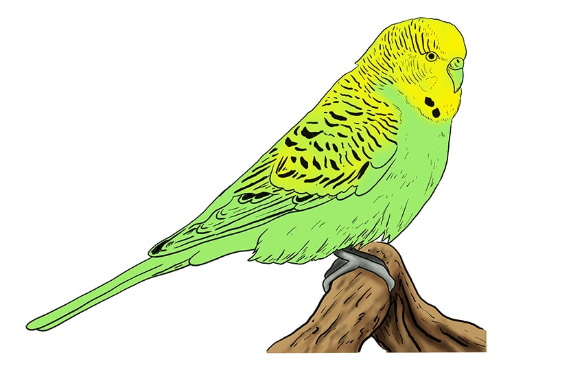 budgie drawing 10