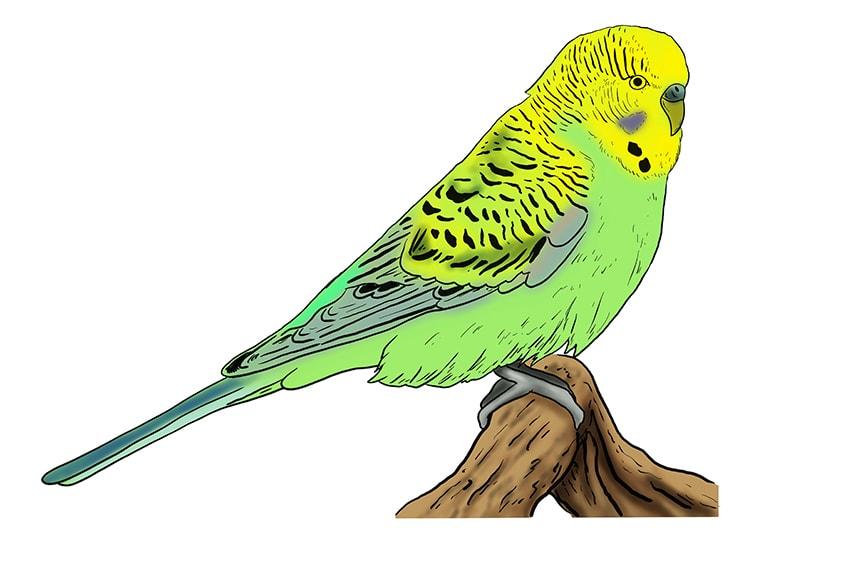 budgie drawing 11