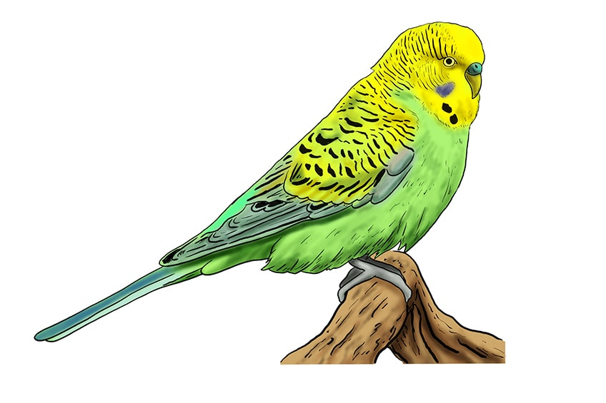 budgie drawing 12