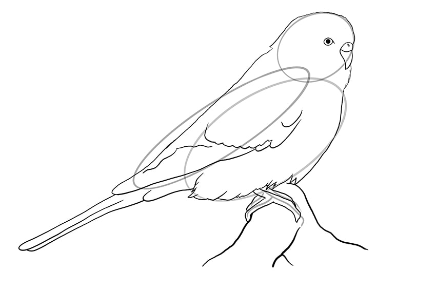 budgie drawing 6