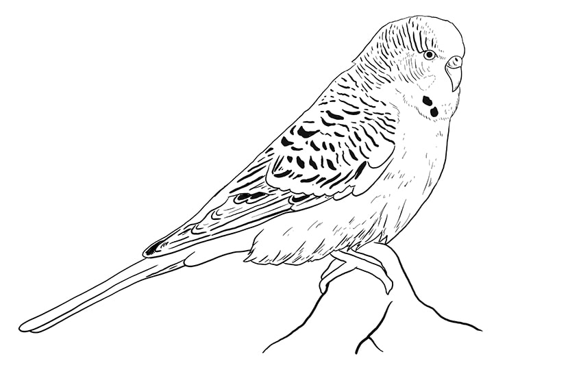 budgie drawing 7