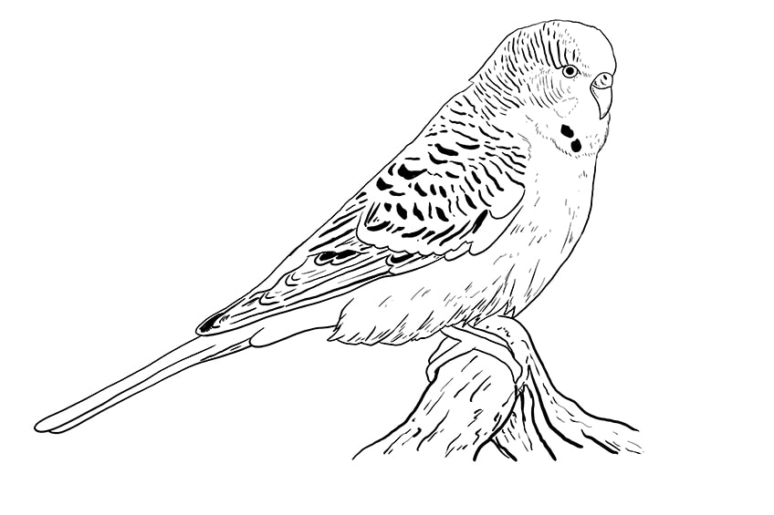 budgie drawing 8