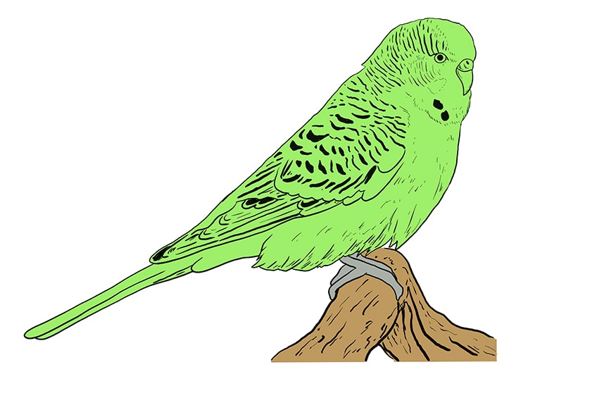 budgie drawing 9