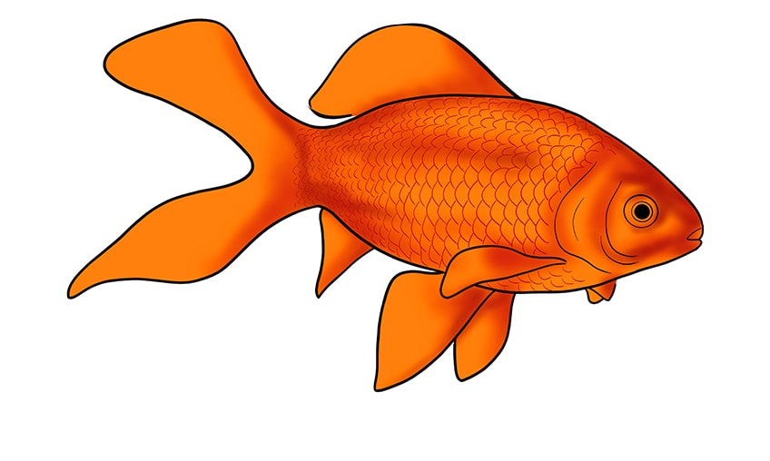 goldfish drawing 13