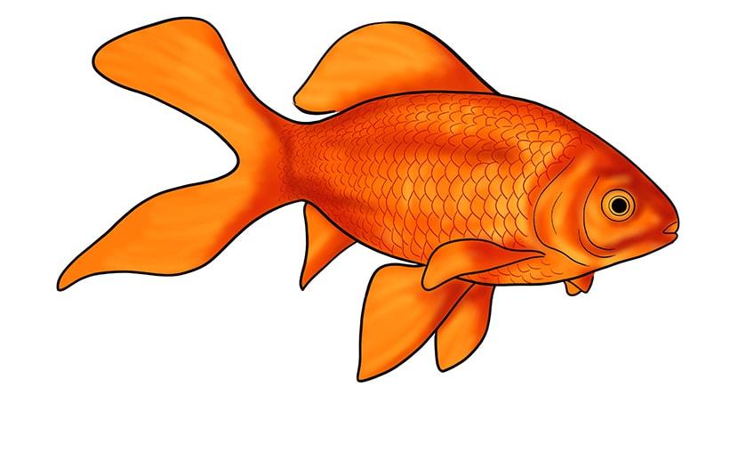 goldfish drawing 14
