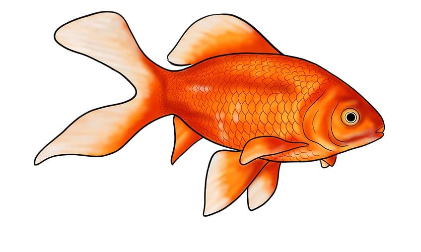 goldfish drawing 15