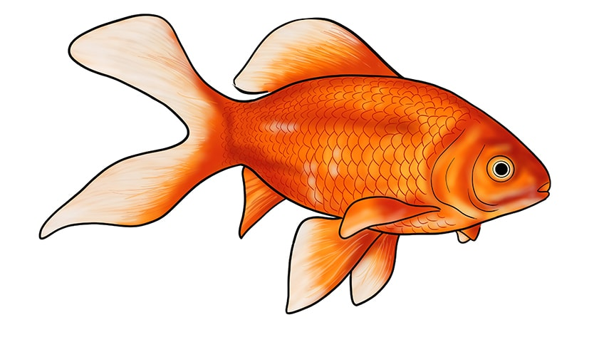 goldfish drawing 16