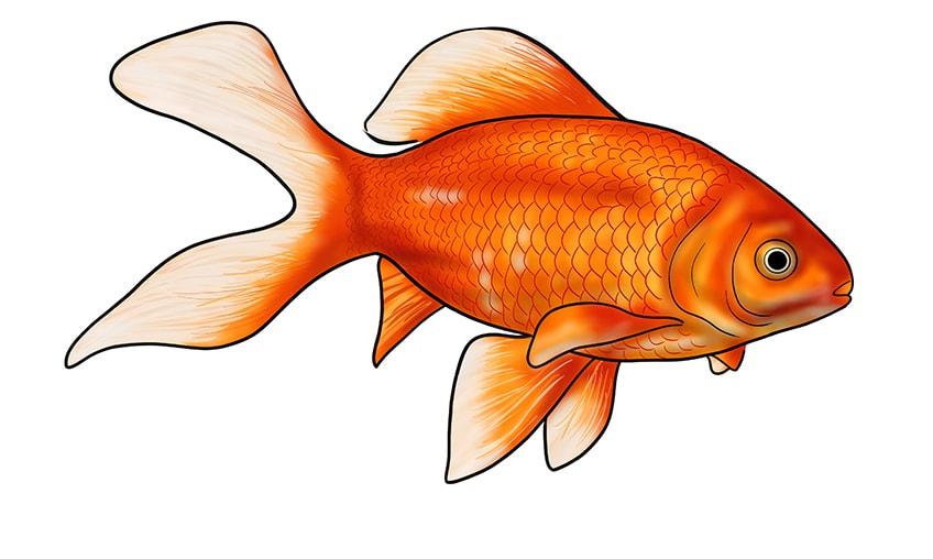 goldfish drawing 17