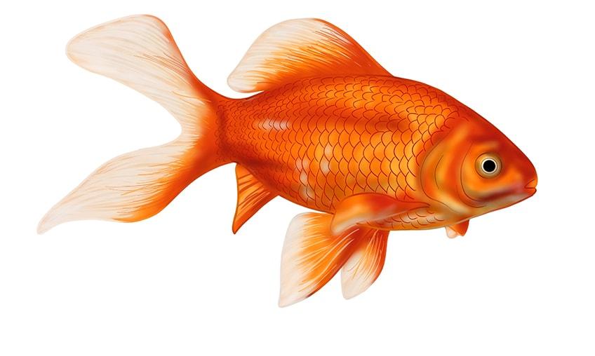 goldfish drawing 18
