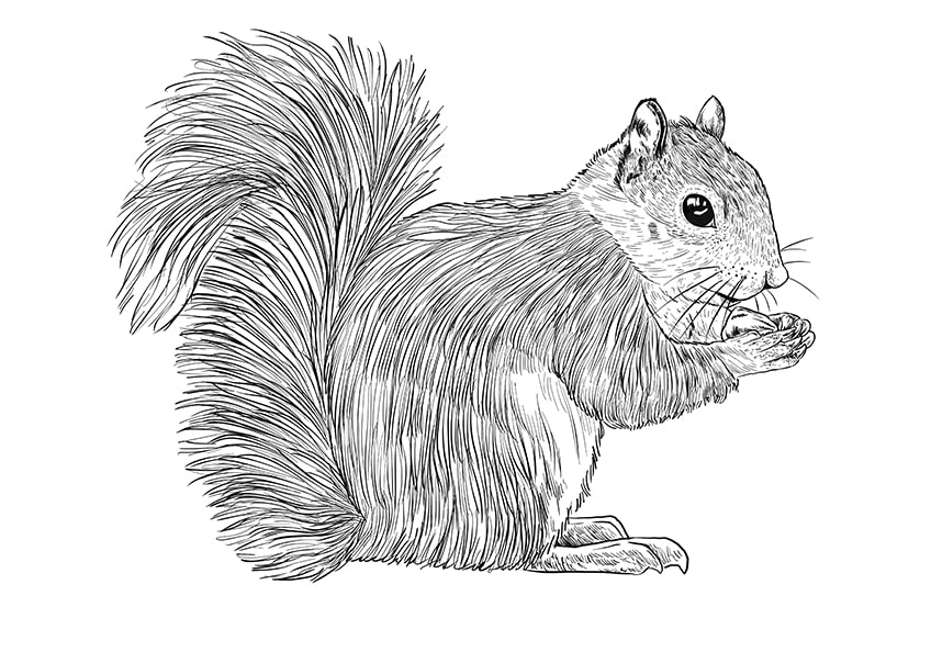 How to Draw a Squirrel Step 10a