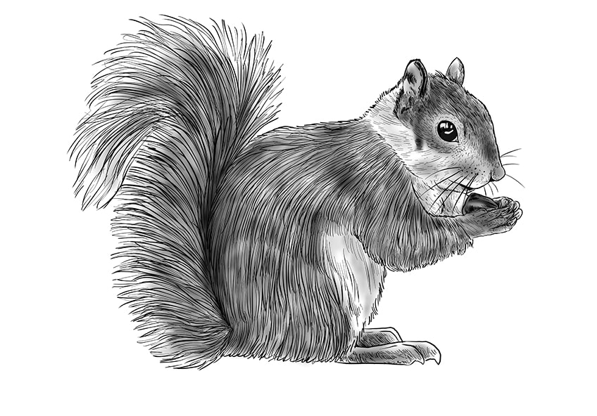 How to Draw a Squirrel Step 11