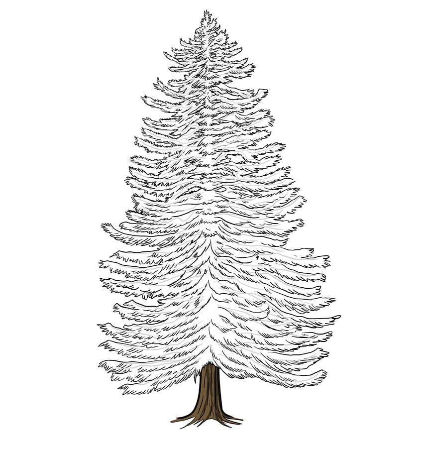 conifer drawing 10