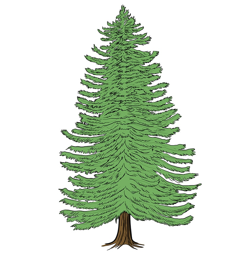 conifer drawing 11