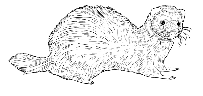 ferret drawing 10