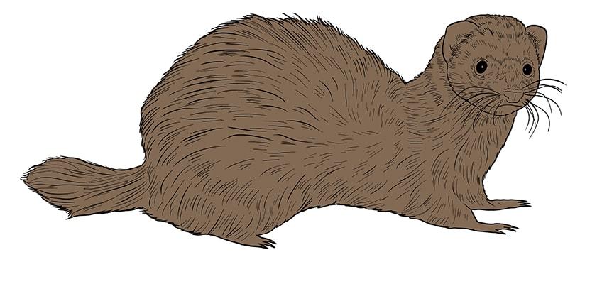 ferret drawing 11