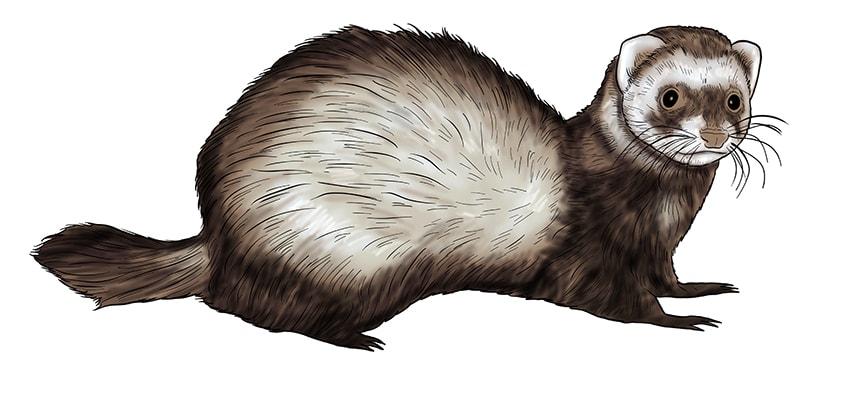 ferret drawing 13