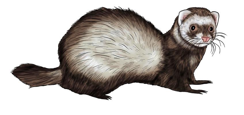 ferret drawing 14