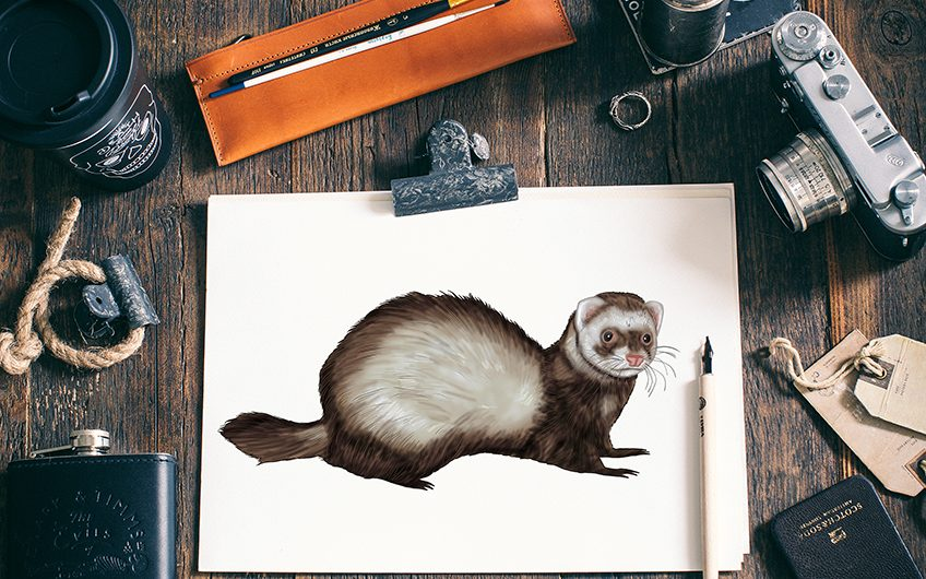 how to draw a ferret 2