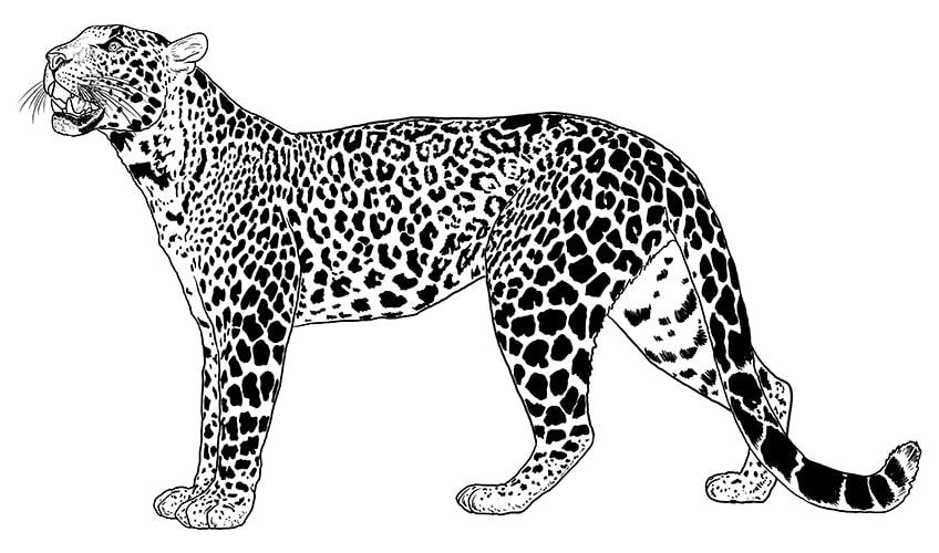 leopard drawing 10