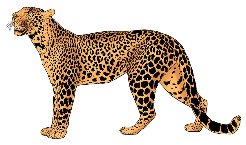 leopard drawing 12a