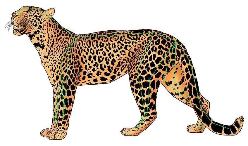 leopard drawing 12b