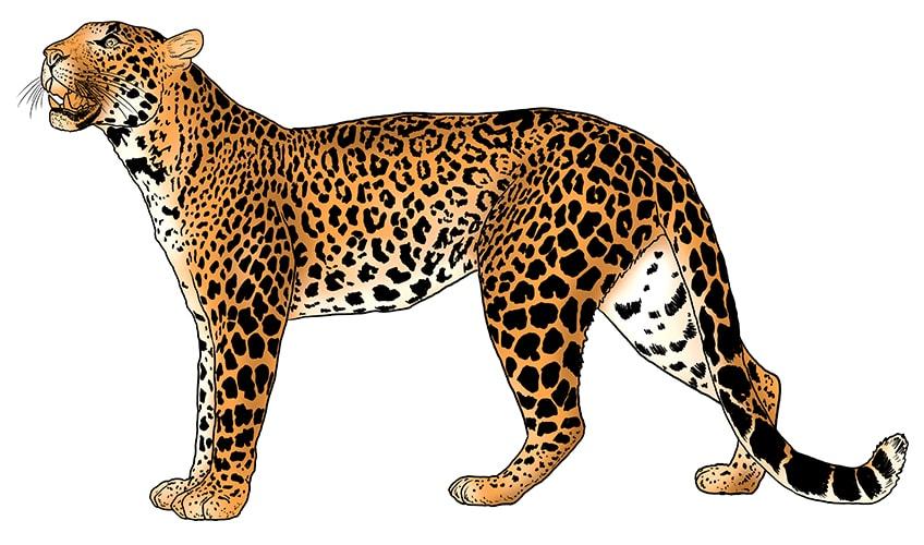 leopard drawing 13