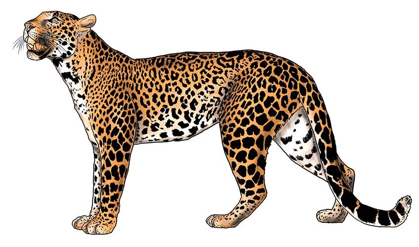 leopard drawing 14