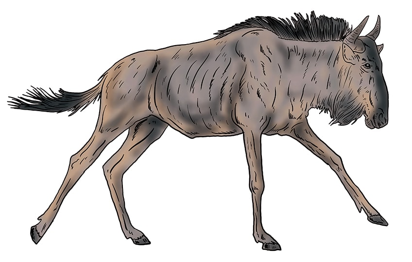 wildebeest drawing 14