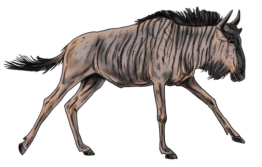 wildebeest drawing 15