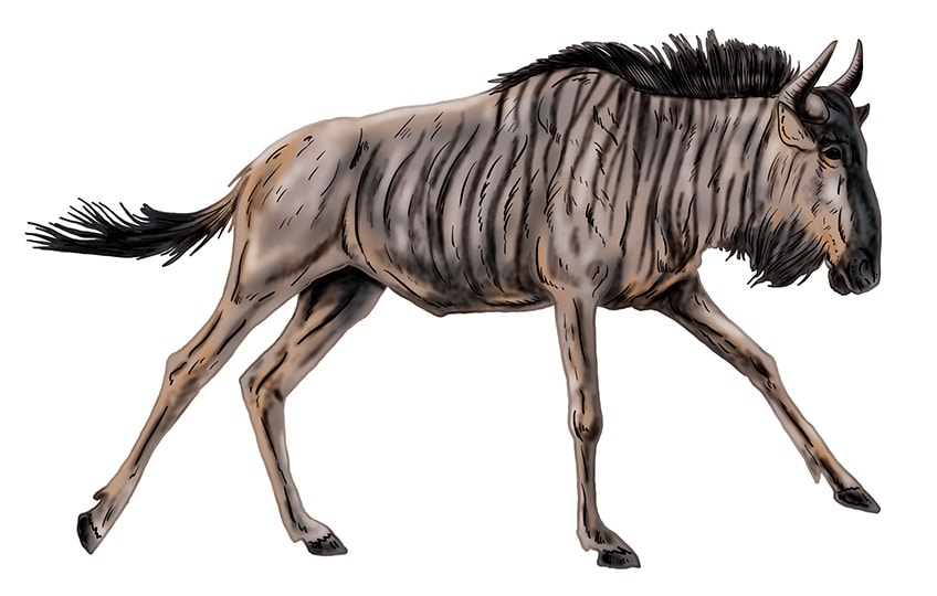 wildebeest drawing 17